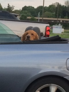 Resting dog in convertible2